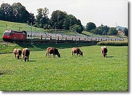 tren_cows